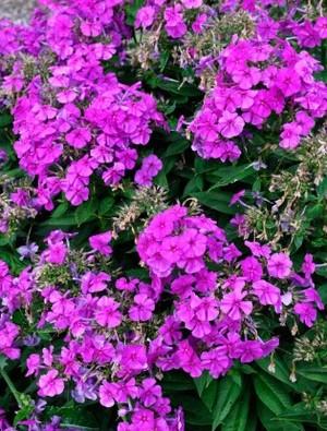 Phlox paniculata 'Purple Flame'