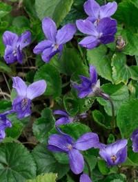 Viola odorata 'Konigin Charlotte'