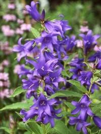 Mpp_campanula-latifolia1