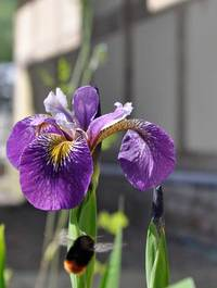 Iris 'Holden's Child'