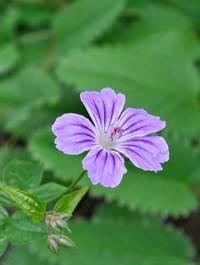 Geranium nodosum 'Clos du Coudray'