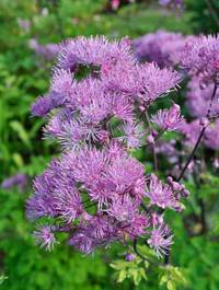 Thalictrum-black-stockings3