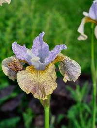 Iris 'Salamander Crossing'