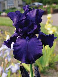 Iris-dusky-challenger4