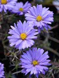 Aster novi belgii 'Lady In Blue'