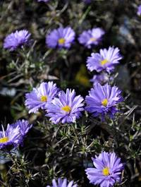 Aster-lady-in-blue2