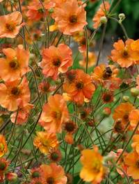 Geum-totally-tangerine2