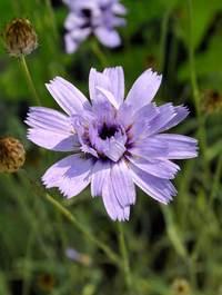 Catanache-caerulea1