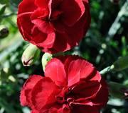 Dianthus 'Houndspool Cheryl'