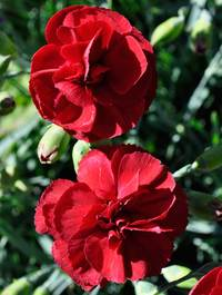 Dianthus-houndspool-cheryl