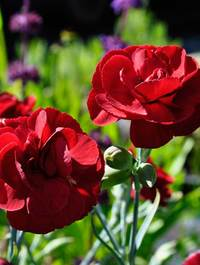 Dianthus-houndspool-cheryl2