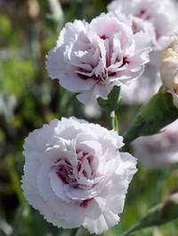 Dianthus-cranmere-pool1