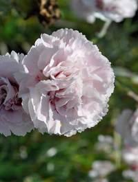 Dianthus-cranmere-pool
