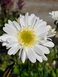 Leucanthemum-t-e-killin1