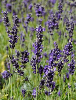 lavandula angustifolia 39 hidcote 39 claire austin. Black Bedroom Furniture Sets. Home Design Ideas