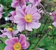 Anemone x hybrida 'Serenade'