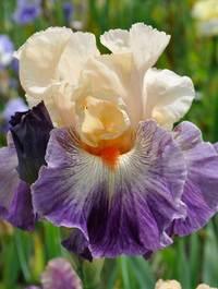 Iris-undercurrant8
