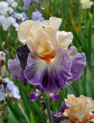 Iris 'Undercurrent'