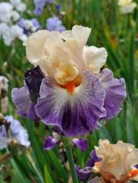 Iris-undercurrant7