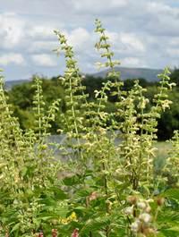 Salvia-glutinosa14