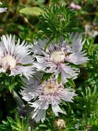 Stokesia-laevis-alba1