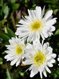 Leucanthemum-t-e-killin2