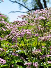 Chaerophyllum-hirsutum-'roseum'7