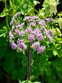 Chaerophyllum-hirsutum-'roseum'3
