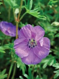 Geranium sanguineum 'Elspeth'