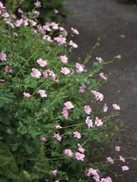 Geranium-x-ox-war-pink