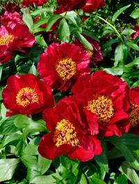 Peony-red-red-rose3