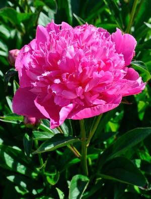 Peony 'Bouquet Perfect'