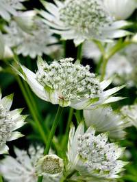 Astrantia-shaggy11