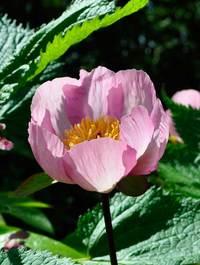 Peony-wittmaniana-pink3