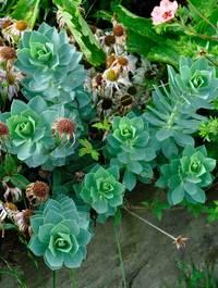 Euphorbia-myrisintes4
