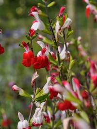 Salvia-hot-lips1