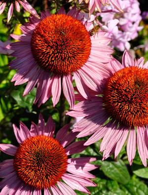 Echinacea purpurea 'Hope'