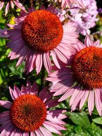 Echinacea-hope12