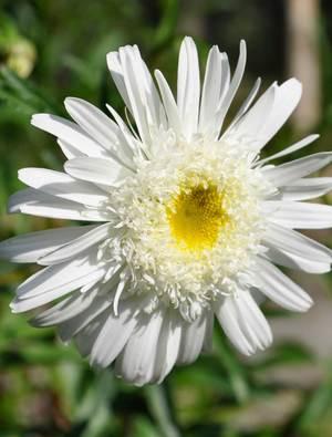 Leucanthemum x superbum 'Wirral Supreme'