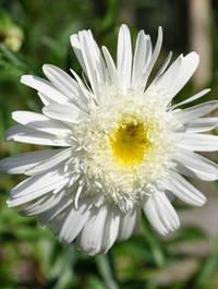Leucanthemum-wirral-supreme1