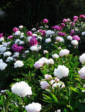 Peonies for Cutting