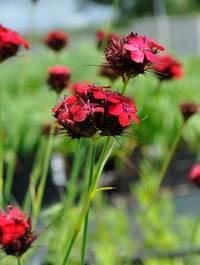 Dianthus-cruentus2