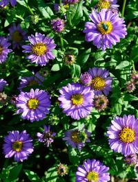 Aster-floras-delight1