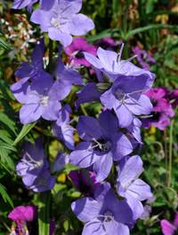 Campanula latiloba 'Highcliffe Variety'
