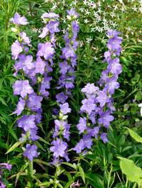Campanula-latifolia-highcliffe6