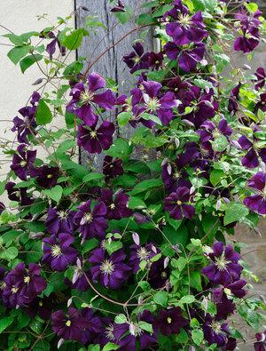 clematis 39 etoile violette 39 claire austin. Black Bedroom Furniture Sets. Home Design Ideas