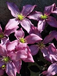 Clematis montana 'Warwickshire Rose'