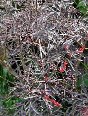 sambucus nigra f porphyrophylla 39 eva 39 claire austin. Black Bedroom Furniture Sets. Home Design Ideas