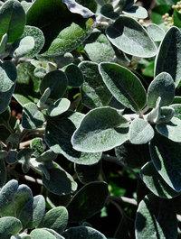 Brachyglottis-walberton's-silver-dormouse