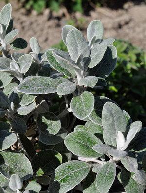 Brachyglottis 'Walburton's Silver Dormouse'